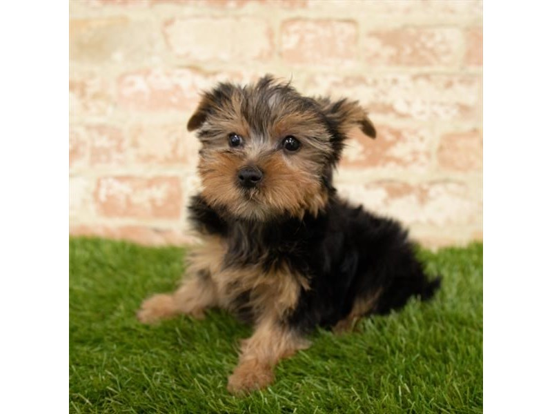 Yorkshire Terrier-Male-Black / Tan-2747140-Petland Athens, OH