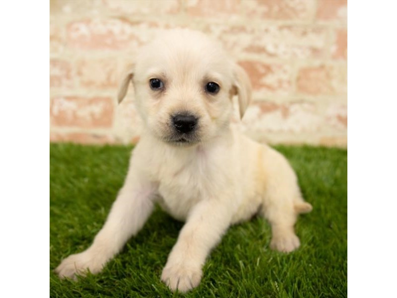 Labrador Retriever-DOG-Male-Yellow-2747141-Petland Athens, OH