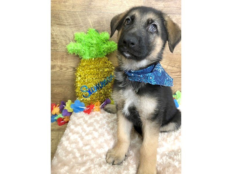 German Shepherd-Male--2753325-Petland Athens, OH
