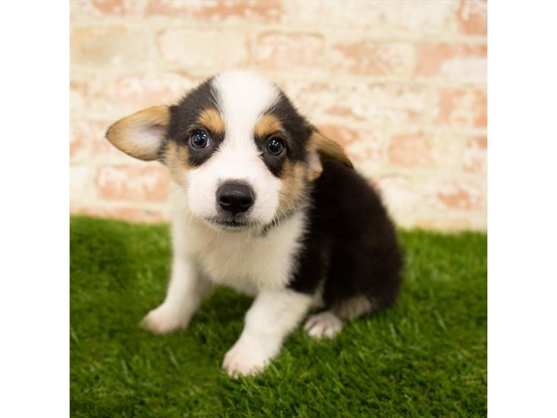Pembroke Welsh Corgi-Male-Black White / Tan-2768410-Petland Athens, OH
