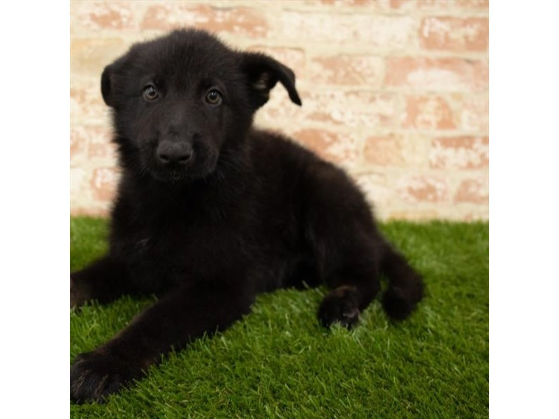 German Shepherd Dog-Male-Black-2768413-Petland Athens, OH