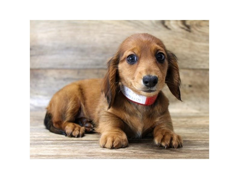 Dachshund-Female-Red-2765843-Petland Athens, OH
