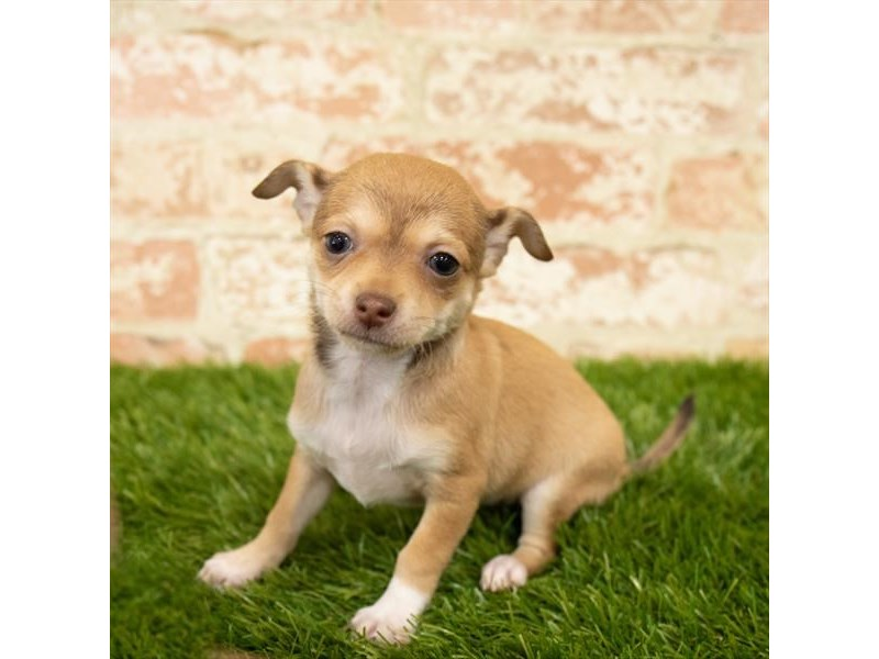 Chihuahua-Female-Fawn-2768305-Petland Athens, OH