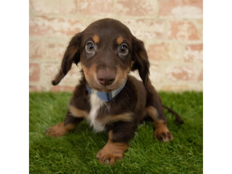 Dachshund-Male-Chocolate / Tan-2768308-Petland Athens, OH
