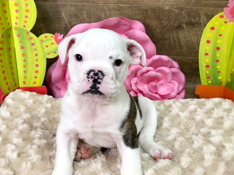 English Bulldog-Male--2765882-Petland Athens, OH