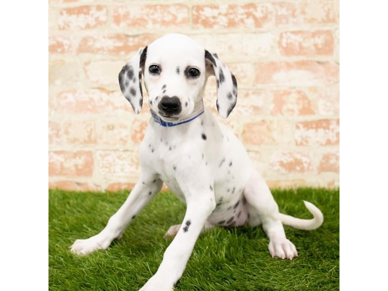 Dalmatian-DOG-Female-White-2775945-Petland Athens, OH