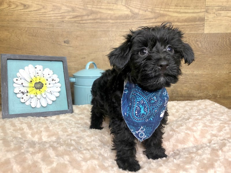 Yorkie Poo-Male-BLK-2779080-Petland Athens, OH