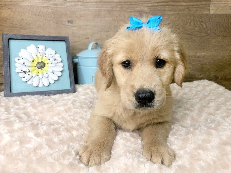 Golden Retriever-Female-Golden-2779179-Petland Athens, OH