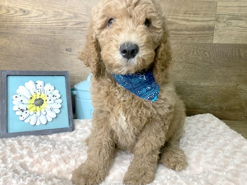 Goldendoodle-Male-Apricot-2779010-Petland Athens, OH