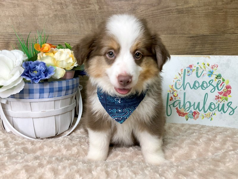Mini Aussie-Male-RED TRI-2787124-Petland Athens, OH
