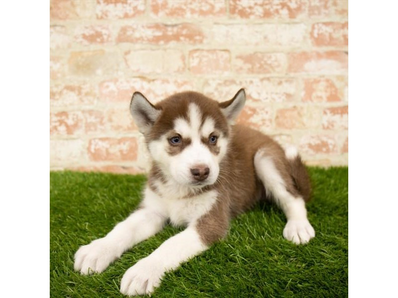 Siberian Husky-Female-Red / White-2791122-Petland Athens, OH