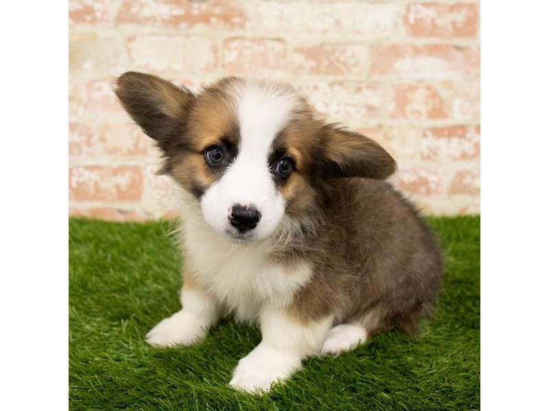 Pembroke Welsh Corgi-Female-Sable / White-2797943-Petland Athens, OH