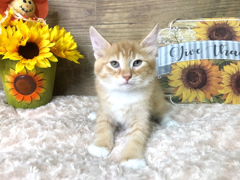 American Shorthair-CAT-Male-Orange-2797062-Petland Athens, OH