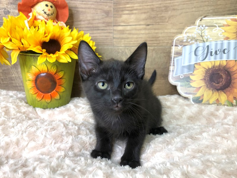 American Shorthair-CAT-Female-Black-2797072-Petland Athens, OH