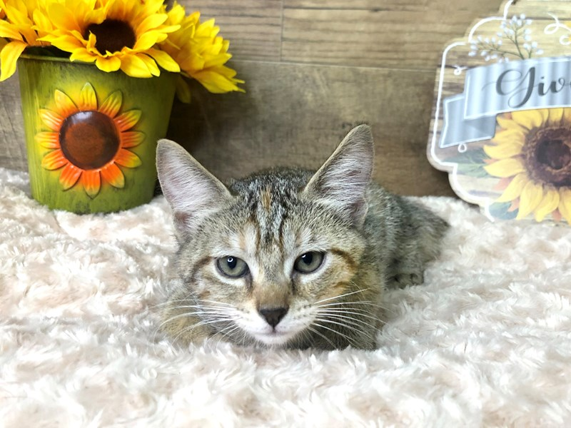 American Shorthair-CAT-Female-Tabby-2797075-Petland Athens, OH