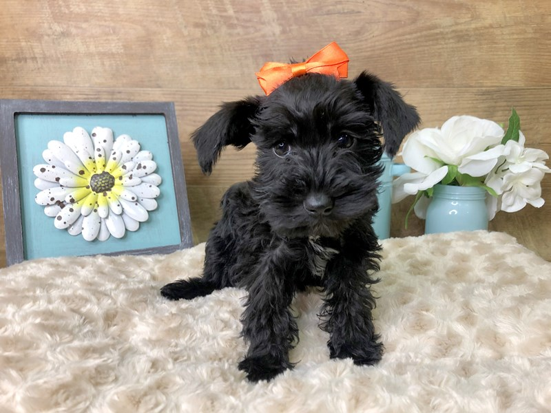 Mini Schnauzer-Female-Black-2784196-Petland Athens, OH