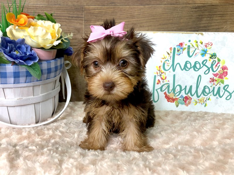 Yorkshire Terrier-Female-CHOC TAN-2786953-Petland Athens, OH