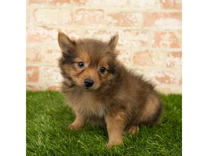 Pomeranian-Male-Red Sable-2791041-Petland Athens, OH