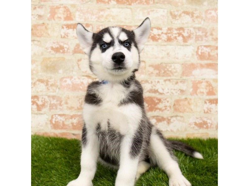 Siberian Husky-DOG-Male-Black / White-2791136-Petland Athens, OH