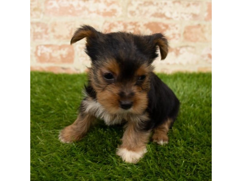 Yorkshire Terrier-DOG-Male-Black / Tan-2791137-Petland Athens, OH