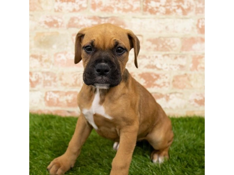 Boxer-Female-Fawn-2797940-Petland Athens, OH