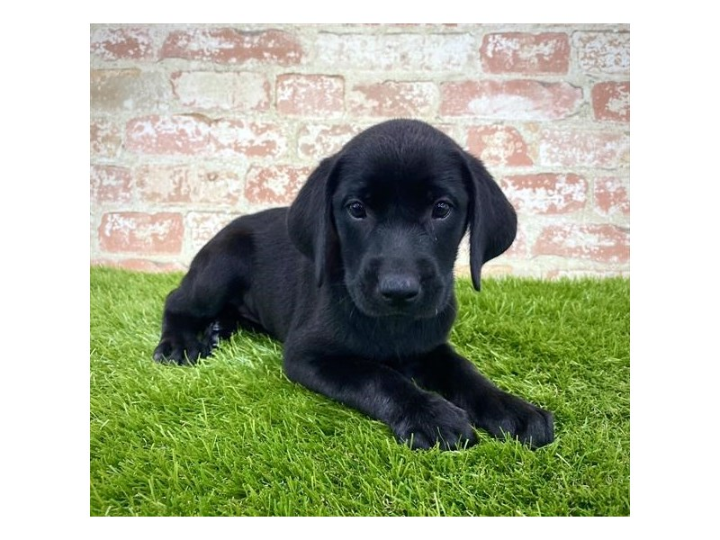 Labrador Retriever-Female-Black-2804984-Petland Athens, OH