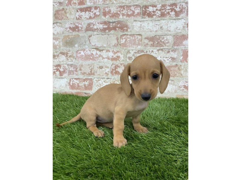 Dachshund-Female-Red-2804985-Petland Athens, OH