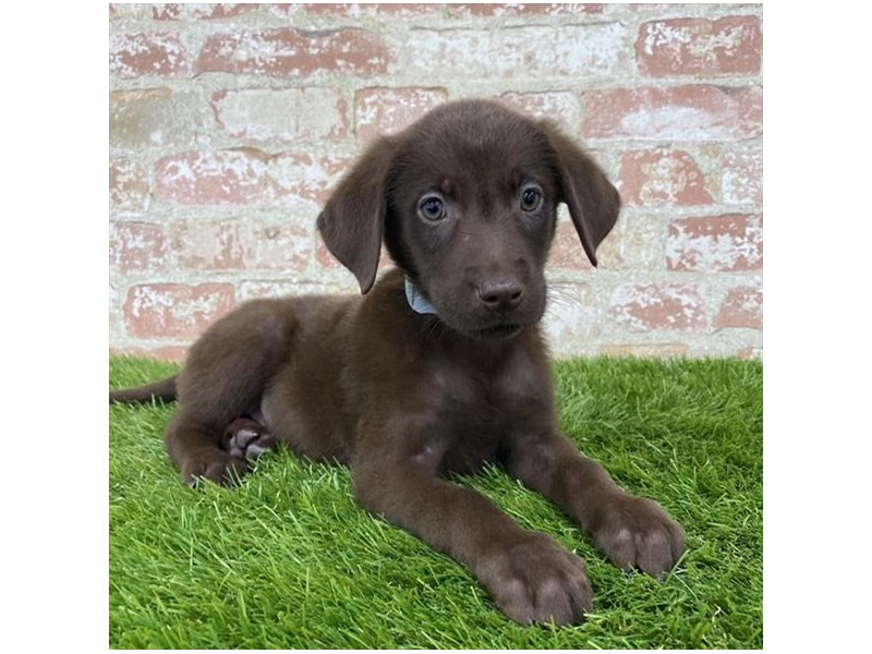 Labrador Retriever-Female-Chocolate-2804989-Petland Athens, OH