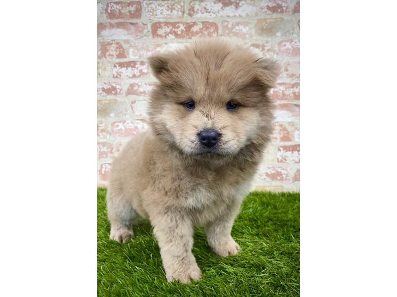 Chow Chow-Female-Cinnamon-2805050-Petland Athens, OH