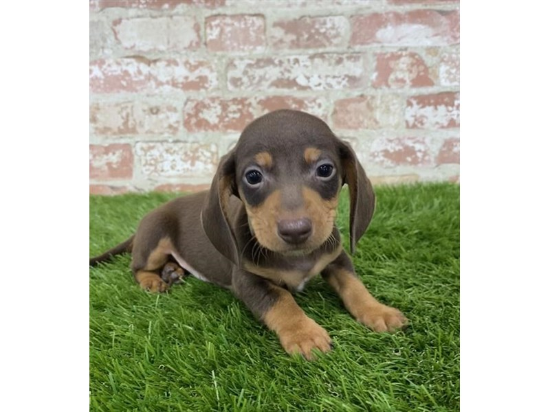 Dachshund-Male-Chocolate / Tan-2805051-Petland Athens, OH