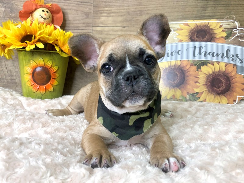 French Bulldog-Male-Fawn/Black mask-2802754-Petland Athens, OH
