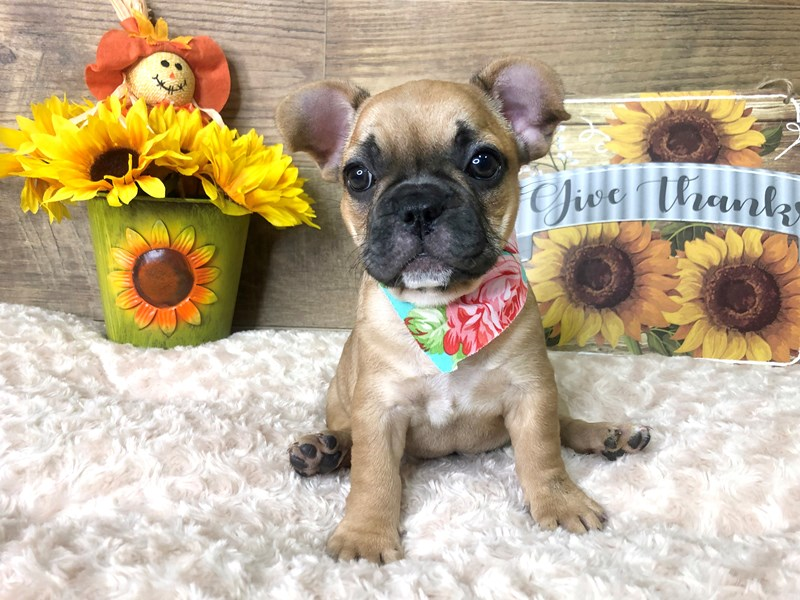 French Bulldog-Female-Fawn/Black mask-2802753-Petland Athens, OH