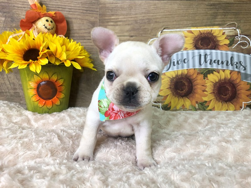 French Bulldog-Female-Cream-2804517-Petland Athens, OH