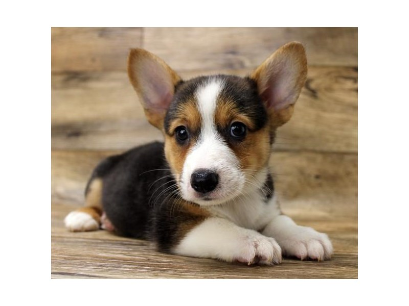 Cardigan Welsh Corgi/Pembroke Welsh Corgi-Male-Black White / Tan-2825380-Petland Athens, OH