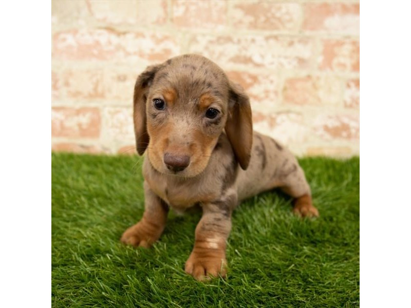 Dachshund-Male-Chocolate-2847569-Petland Athens, OH