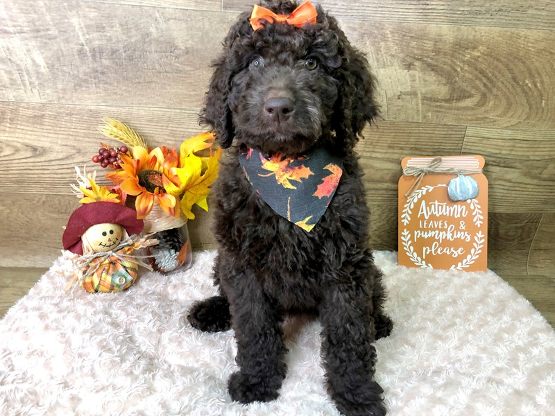 F2 MINI GOLDENDOODLE-DOG-Female-Chocolate-2849960-Petland Athens, OH