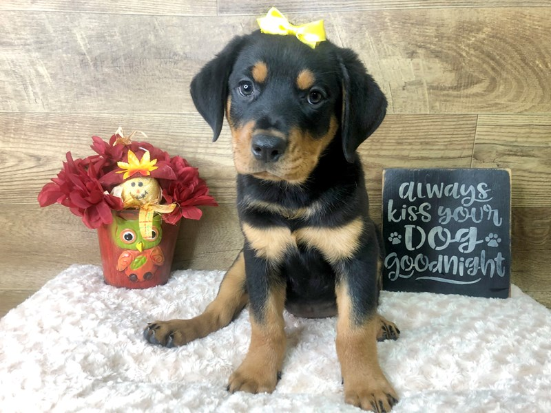 Rottweiler-Female-Black & Tan-2808409-Petland Athens, OH