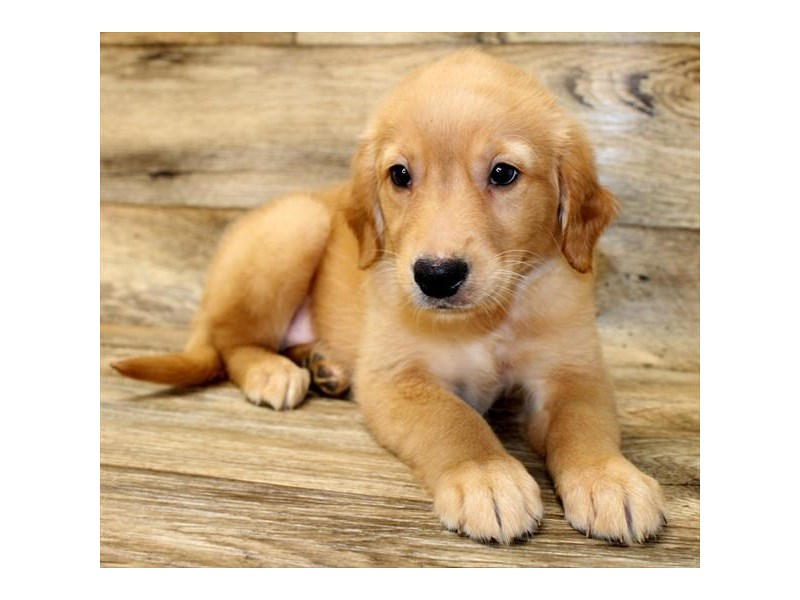 Golden Retriever-Female-Golden-2825280-Petland Athens, OH