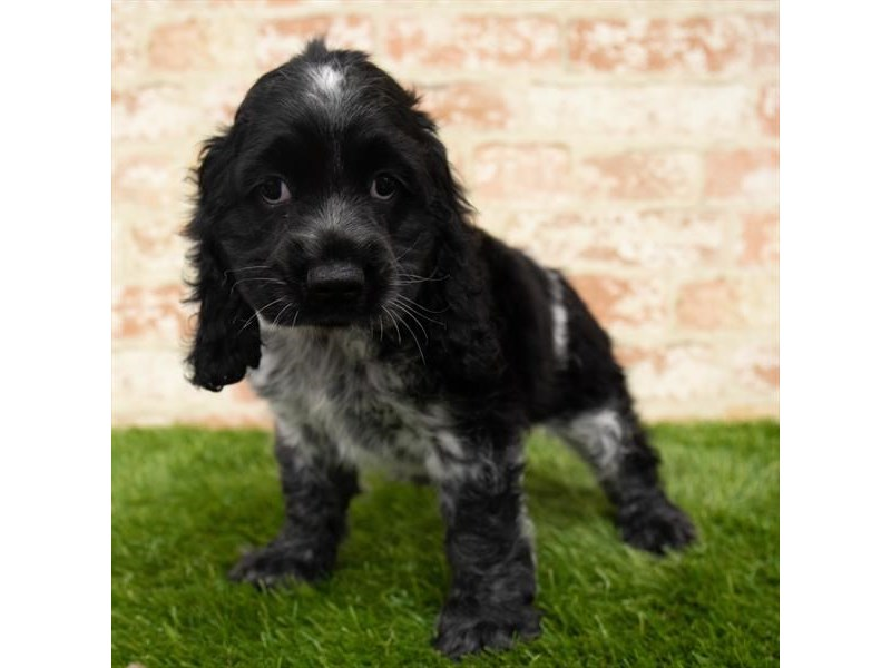 Cocker Spaniel-Male-Black-2831854-Petland Athens, OH