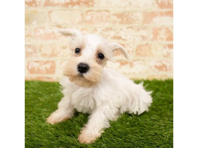 Miniature Schnauzer-DOG-Female-White-2840688-Petland Athens, OH