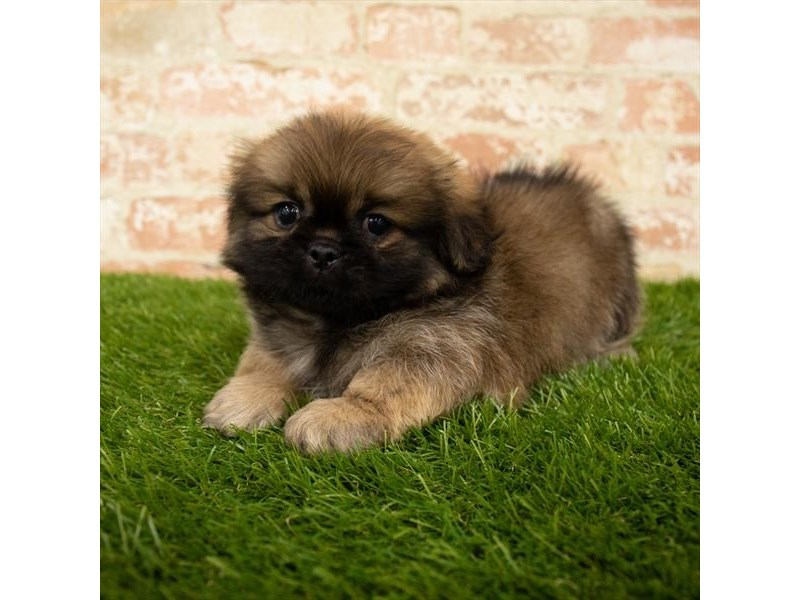 Pekingese-Male-Red Sable-2840693-Petland Athens, OH