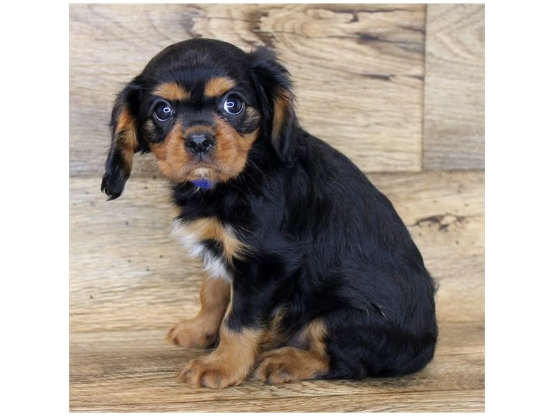 Cavalier King Charles Spaniel-DOG-Male-Black / Tan-2847565-Petland Athens, OH