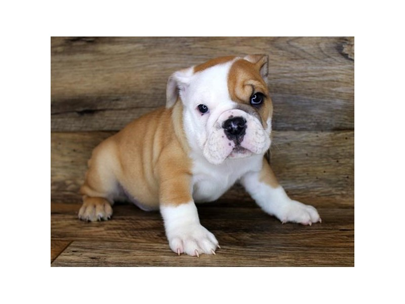 Bulldog-DOG-Male-Fawn / White-2847674-Petland Athens, OH