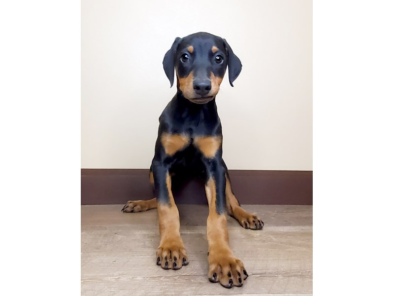 Doberman Pinscher-Female-Black and Tan-2851291-Petland Athens, OH