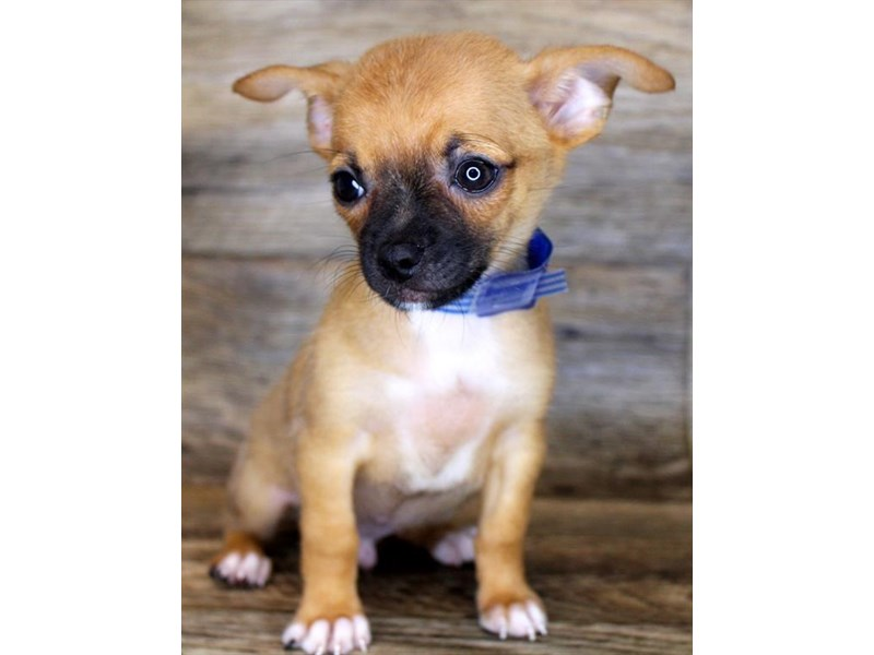 Chihuahua-Male-Red-2856333-Petland Athens, OH