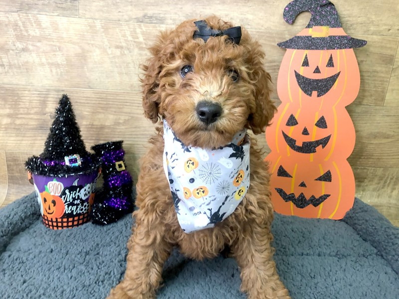 F1B Mini Goldendoodle-Female-RED-2856078-Petland Athens, OH