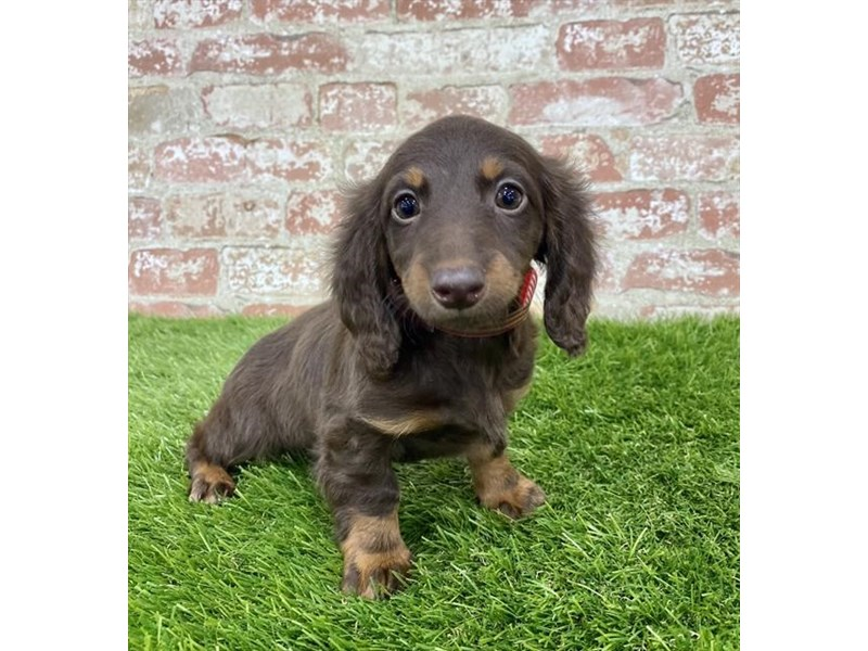 Dachshund-Female-Chocolate / Tan-2862277-Petland Athens, OH