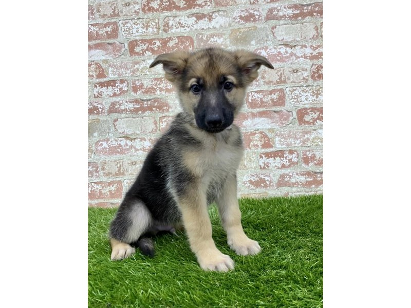 German Shepherd Dog-Male-Black / Tan-2862423-Petland Athens, OH