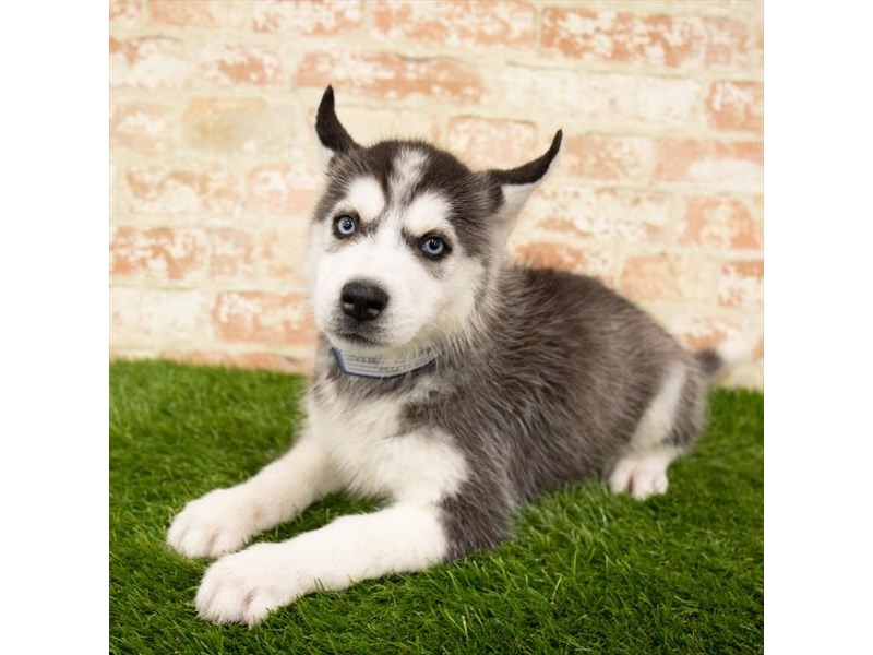 Siberian Husky-DOG-Male-Black / White-2876754-Petland Athens, OH