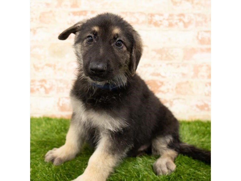 German Shepherd Dog-Male-Black / Tan-2876760-Petland Athens, OH